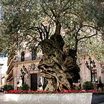 oliveracort