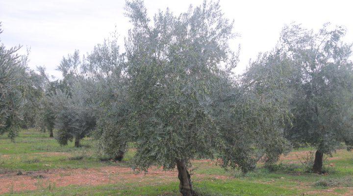 olivar-oli-de-mallorca