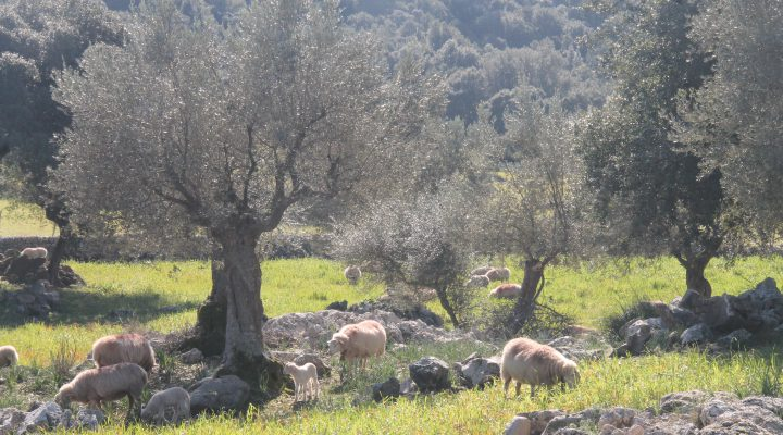 Oli de Mallorca